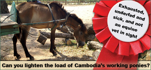 Cambodias working ponies